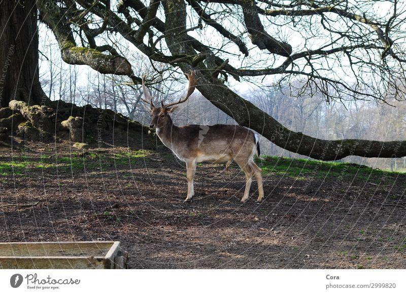 lonely deer Wild animal Pelt fallow deer 1 Animal Relaxation Esthetic Brown Power Subdued colour Exterior shot Animal portrait Looking