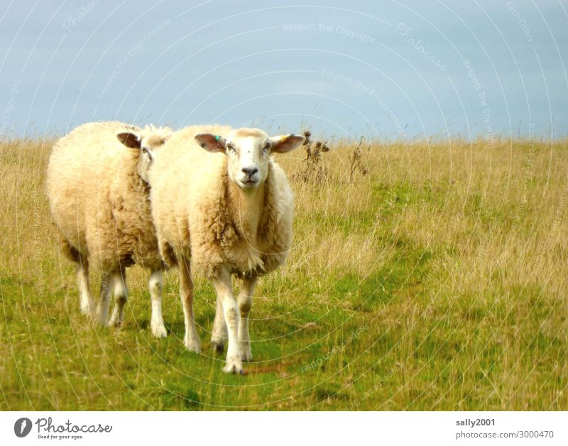 Coming... Grass Animal Farm animal Sheep Flock 2 Pair of animals Going Together Relationship Resolve Friendship Curiosity Teamwork Lanes & trails Pasture