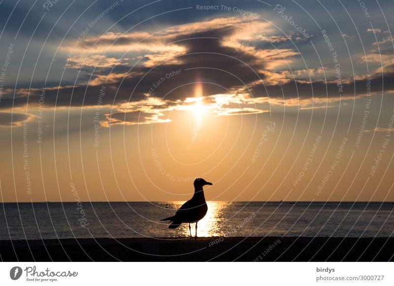 back-lighting gull Sky Clouds Horizon Sunrise Sunset Summer Coast Ocean Bird Seagull 1 Animal Esthetic Authentic Maritime Positive Blue Gray Orange Calm Peace