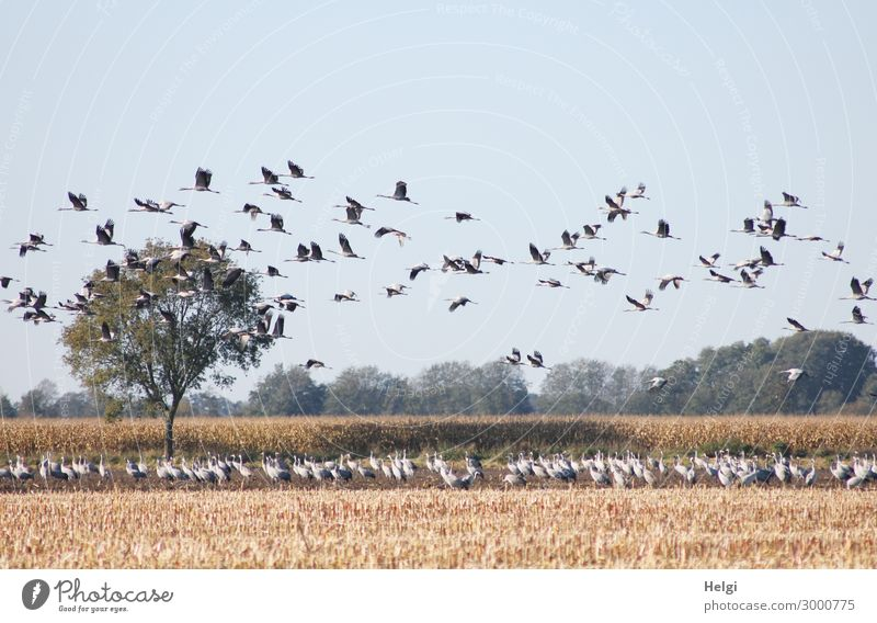 many cranes standing on a field and flying in the air Environment Nature Landscape Plant Animal Autumn Tree Agricultural crop Maize Maize field Field