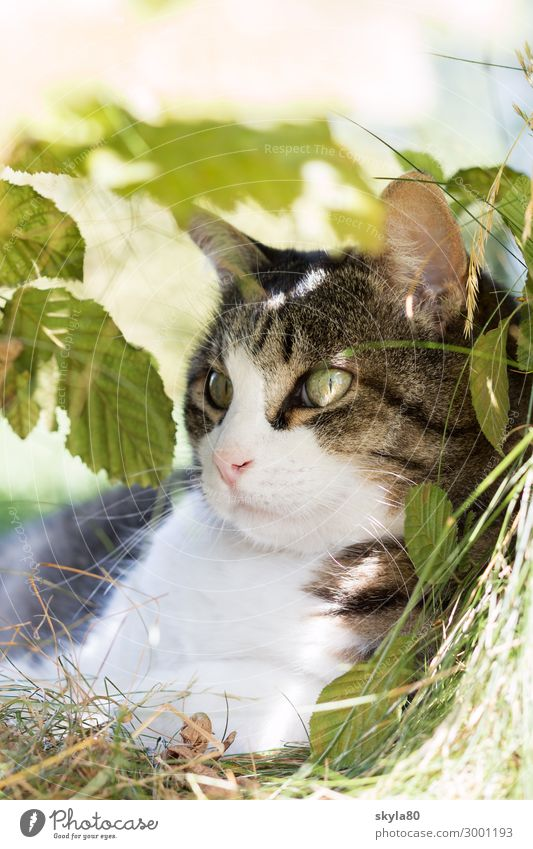 observantly Cat Domestic cat Animal Pet Animal face Pelt Observe Lie Elegant Friendliness natural Contentment Spring fever Love of animals already Sunbeam