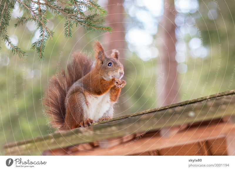 snack fun Squirrel European squirrel Nature Animal Forest Wild animal Pelt To feed Feeding To enjoy Crouch Sit Free Cute Contentment Love of animals Appetite