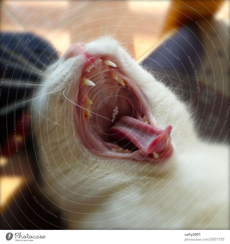 gaeäähn... Animal Pet Cat Animal face Tongue Set of teeth 1 Brash Cute Soft Contentment Power Safety (feeling of) Fatigue Relaxation Boredom Break Yawn
