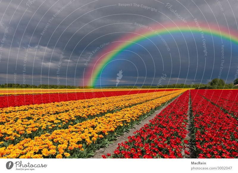 Tulip field with rainbow Tulip fields Flower flowers Flower variety Botany dutch variegated colorful more colourful out Europe colored coloured flora