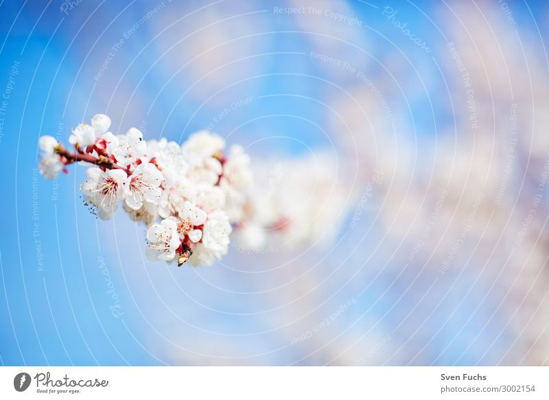 White apple blossoms in front of a blue sky Apple Beautiful Calm Garden Nature Plant Spring Tree Flower Blossom Blossoming Fresh Bright Soft Pink Romance