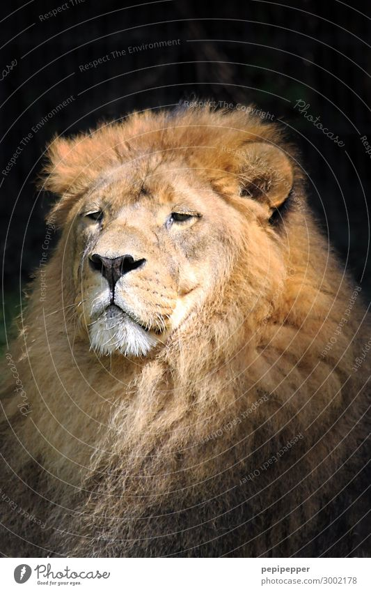 one of big five Animal Wild animal Cat Lion 1 Old Brown Bravery Power Might Colour photo Exterior shot Long shot Looking into the camera