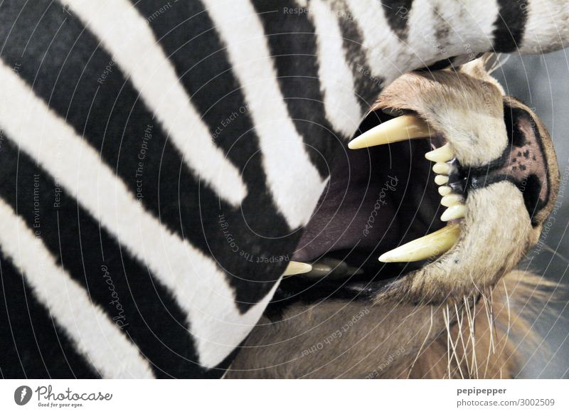fast food Meat Eating Safari Animal Wild animal Dead animal Cat Animal face Pelt Teeth 2 Catch To feed Hunting Fight Aggression Threat Might Death Appetite Pain