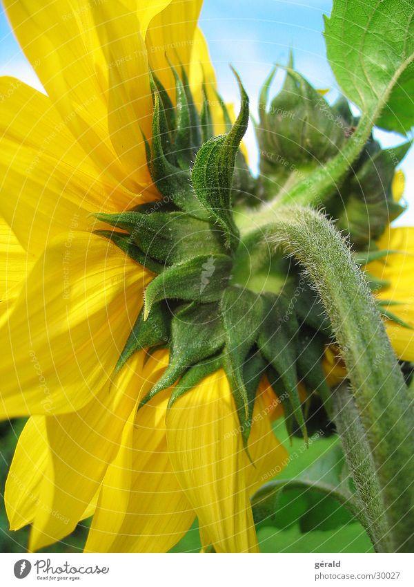 sunflower Flower Yellow Summer Green Sun Detail