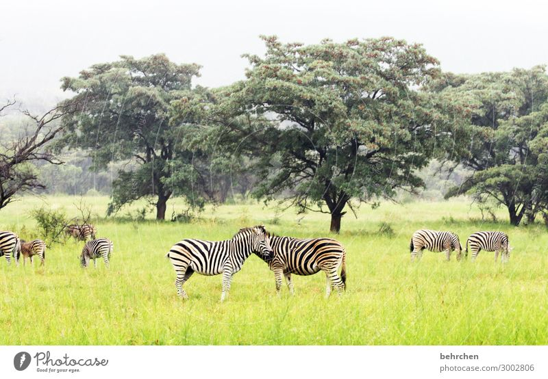 be one Vacation & Travel Tourism Trip Adventure Far-off places Freedom Safari Environment Nature Landscape Tree Grass Bushes Wild animal Animal face Pelt Zebra