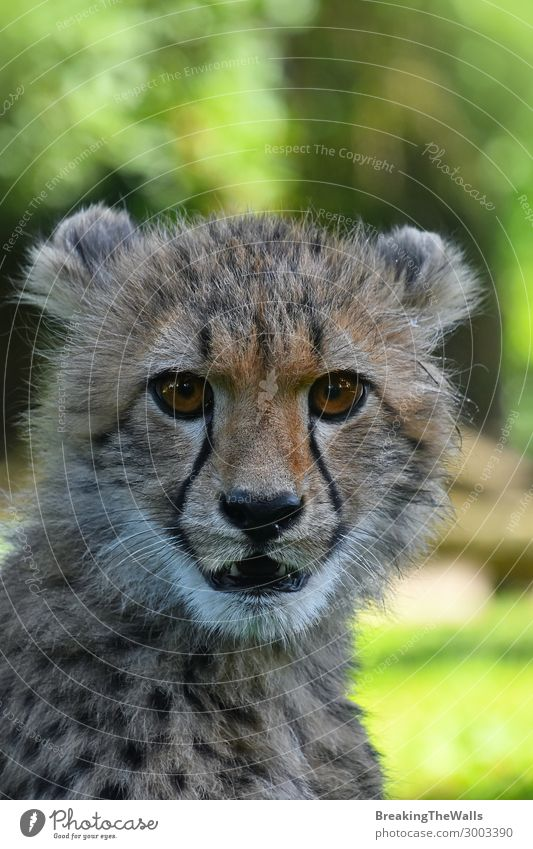 Close up portrait of cheetah cub Animal Wild animal Cat Animal face Zoo 1 Baby animal Green Cheetah Cute Delightful Head Eyes Snout Big cat Watchfulness Staring