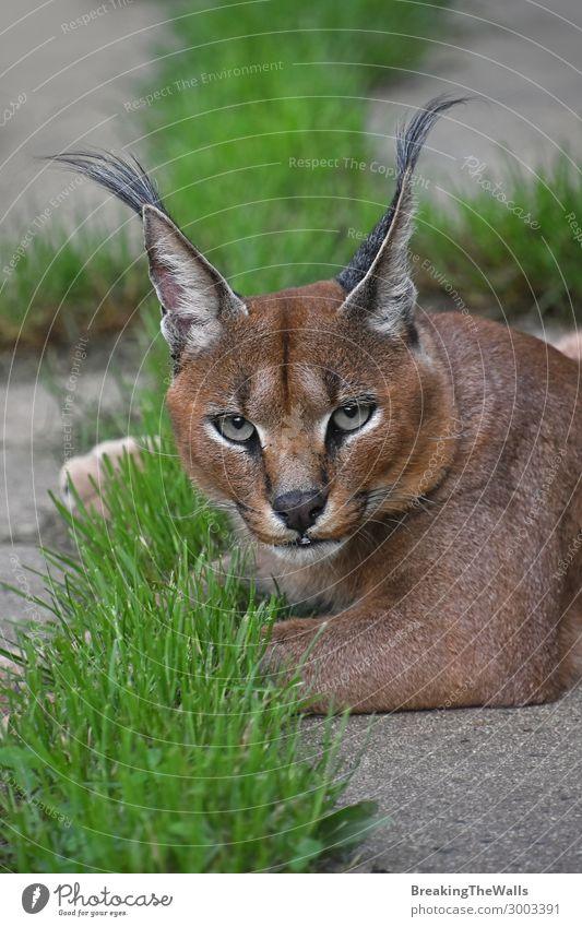 Close up portrait of caracal looking at camera Nature Animal Wild animal Cat Animal face Zoo 1 Green Grass Watchfulness Ground Relaxation Resting Lie Ambush
