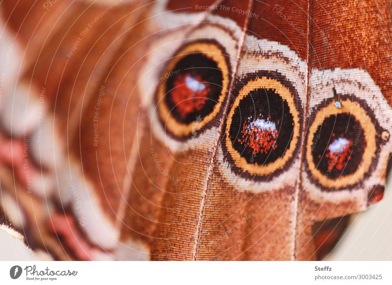a wing with three dummy eyes as a deterrent mimicry Wing pattern Warning signal Camouflage camouflage Camouflage colour eye stains Mock Eyes close up scare off