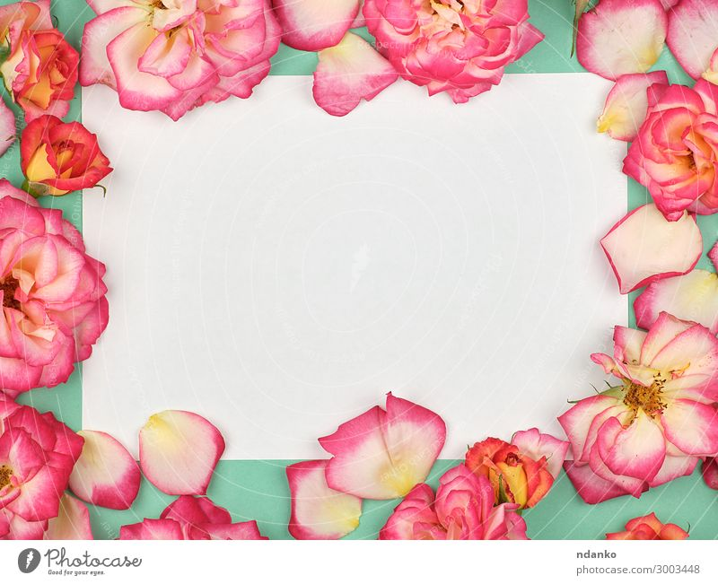 pure white paper sheet and buds of pink roses Nature Plant Green White Red Flower Leaf Blossom Feasts & Celebrations Business Pink Above Design Decoration