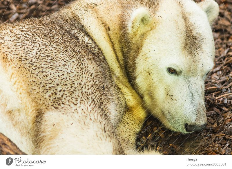 portrait of polar bear lying on the ground adult animal animals background bears beautiful beauty carnivore carnivorous claws closeup color conservation cute