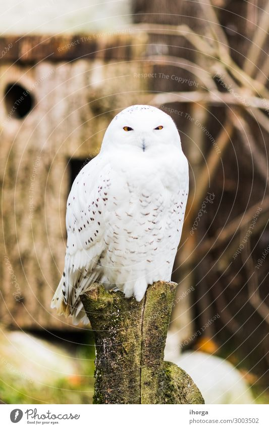 Snowy owl perched on a branch in spring Beautiful Life Hunting Vacation & Travel Nature Landscape Animal Park Wild animal Bird 1 Sit Funny Natural Cute White