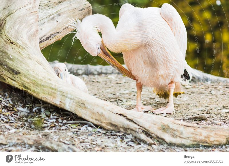 The Pink-backed Pelican or Pelecanus rufescens portrait Exotic Beautiful Life Vacation & Travel Nature Animal Bird 1 Funny Natural Cute Wild White Colour