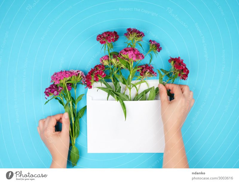 Dianthus barbatus flower buds and white paper envelope Nature Plant Blue Colour Beautiful Green White Red Hand Flower Leaf Blossom Natural Feasts & Celebrations