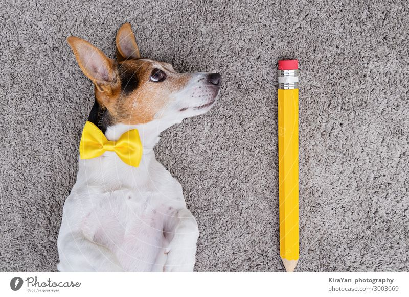 Portrait of cute young jack russell terrier dog with large yellow pen and yellow tied bow. Back to school concept april fools day above adorable animal