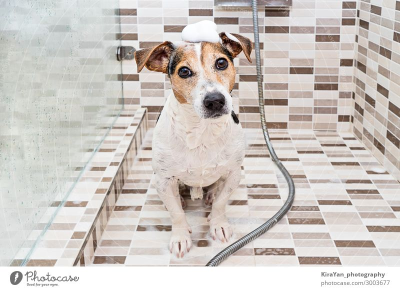 Cute wet puppy dog with foam on head in shower Dog Animal Lifestyle Health care Hair and hairstyles Leisure and hobbies Sit To enjoy Bathtub Cleaning Bathroom