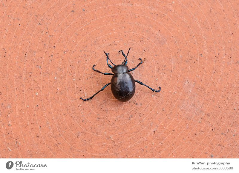 Big black beetle on orange background nature wildlife closeup bug danger wings creature insect ant cartoon silhouette pest animal weevil scarab arthropod