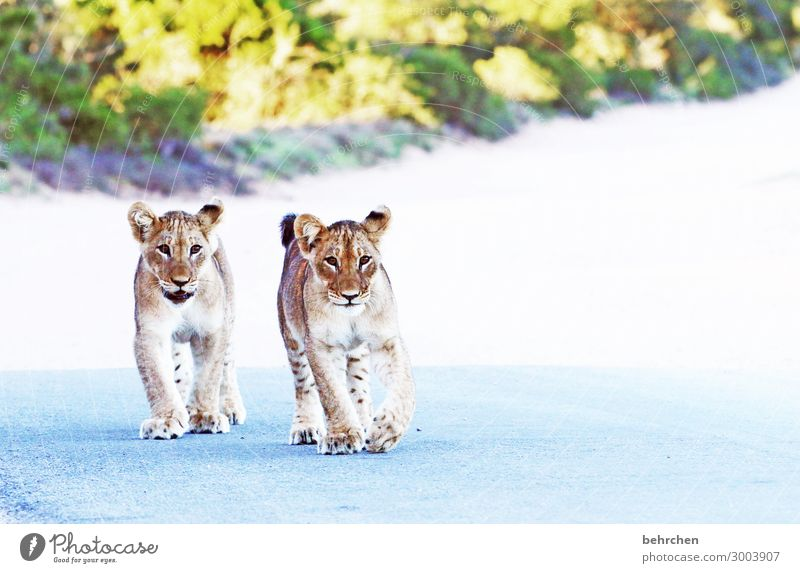 brothers lionheart Animal portrait Sunrise Sunlight Contrast Day Dawn Deserted Playing Hunting Animal protection Exterior shot Colour photo Dangerous Brave