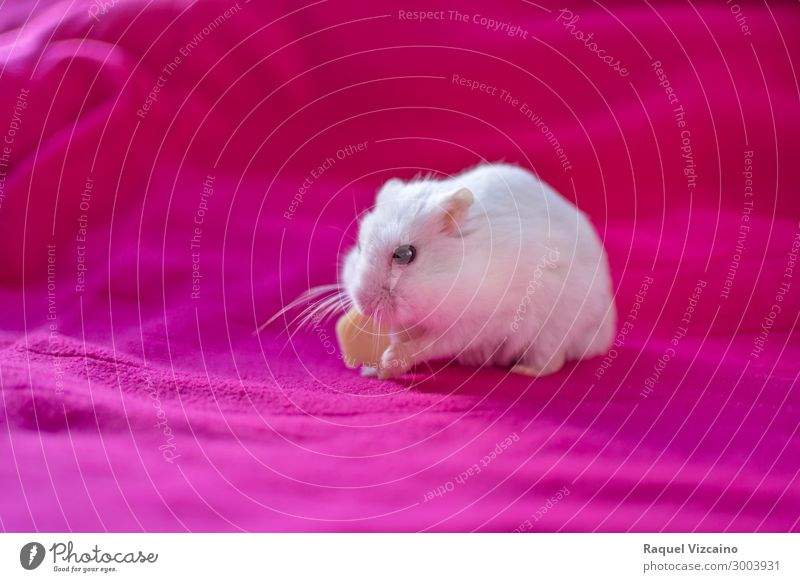 hamster eating a piece of cheese Cheese Animal Pet 1 Feeding Pink White Love of animals Hamster Rodent food seeds russian Mammal Strange Cage isolated