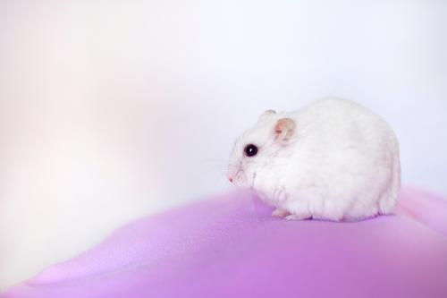 portrait of a white hamster White Animal Calm Pink Observe Curiosity Mouse Self Control Hamster