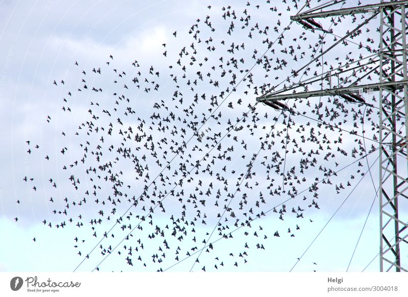 a flock of starlings flies to a power pole Energy industry Electricity pylon Cable Environment Nature Animal Sky Clouds Autumn Wild animal Bird Flock Movement