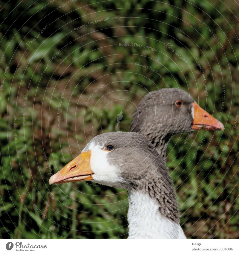 Close-up of two geese, standing one behind the other, holding their heads in opposite directions Environment Nature Plant Animal Farm animal Bird Animal face