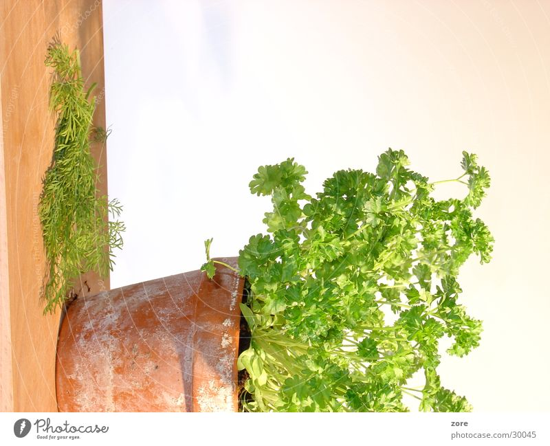Nutrition Fresh Isolated Image Herbs and spices Flowerpot Parsley Dill