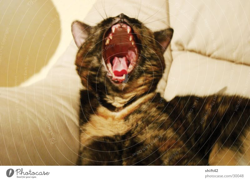 tiger Cat Red Yawn Pelt lime Muzzle Set of teeth Tongue