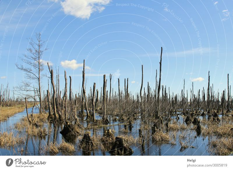 bizarre dead trees in a moor lake in good weather Environment Nature Landscape Plant Water Sky Clouds Spring Beautiful weather Tree Grass Wild plant Bog Marsh