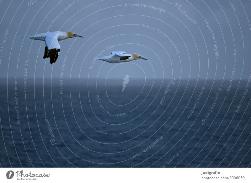 on the way Vacation & Travel Trip Freedom Environment Nature Animal Air Water Climate Ocean Wild animal Bird Northern gannet 2 Flying Natural Blue Colour photo