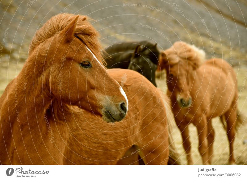 Iceland Vacation & Travel Tourism Nature Hair and hairstyles Brunette Animal Farm animal Wild animal Horse Animal face Iceland Pony 3 Group of animals Near