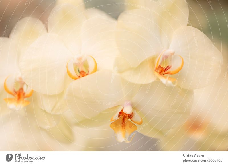 Flowers - Yellow Orchids Exotic Beautiful Wellness Harmonious Relaxation Meditation Spa Wallpaper Birthday Nature Plant Spring Summer Autumn Winter Blossom