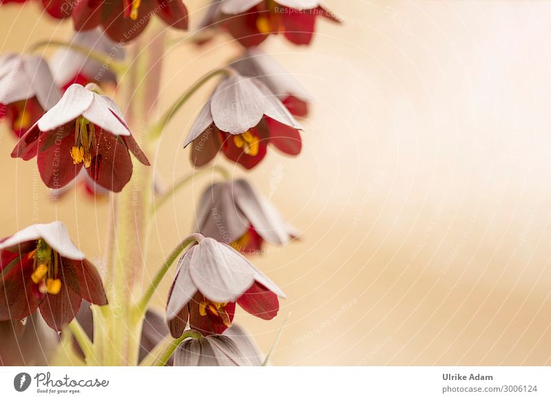 Persian imperial crown ( Fritillaria persica ) Shallow depth of field Sunlight Deserted Macro (Extreme close-up) Detail Close-up Exterior shot Colour photo