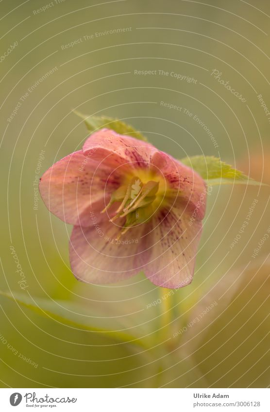 Christmas rose / Lenzrose ( Helleborus niger ) Wellness Harmonious Well-being Contentment Relaxation Calm Fragrance Spa Wallpaper Valentine's Day Mother's Day