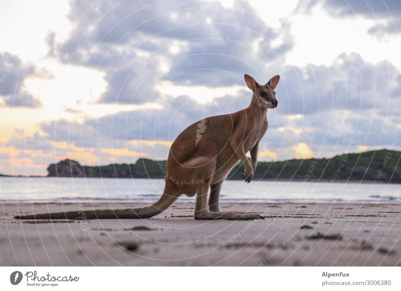 Wallaby Environment Nature Animal Wild animal 1 Observe Looking Sit Stand Beautiful Cute Happy Contentment Joie de vivre (Vitality) Adventure Esthetic wallaby