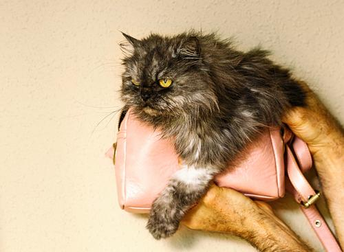 persian cat inside small pink bag II Cat Woman Human being Man House (Residential Structure) Animal Lifestyle Adults Love Family & Relations Gray Pink
