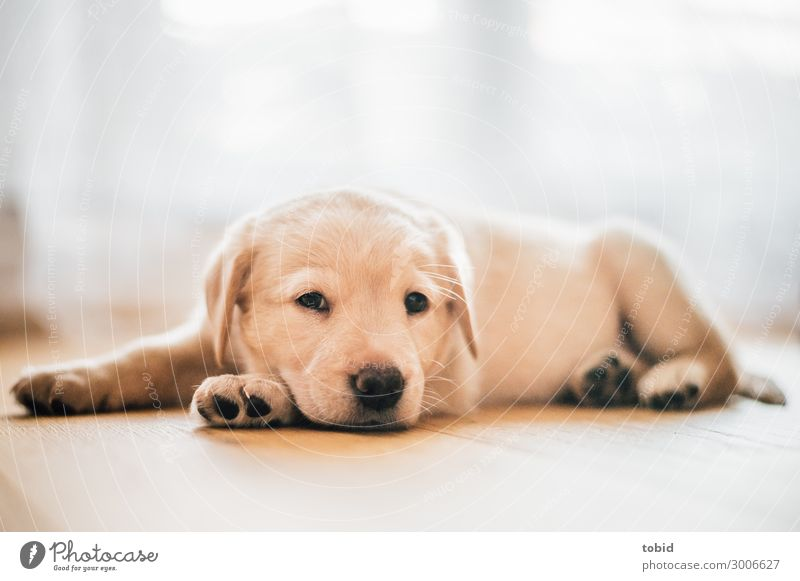 Dog puppy / Labrador Retriever Animal Pet Animal face Pelt 1 Observe Relaxation To enjoy Lie Friendliness Cuddly Sympathy Baby animal Labrador retriever Puppy