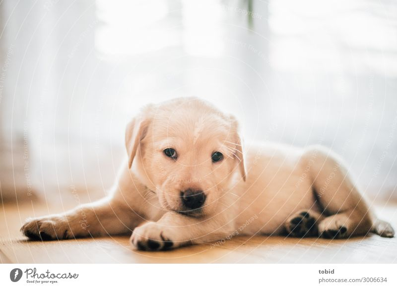 Dog puppy / Labrador Retriever Animal Pet 1 Observe Lie Cuddly Safety (feeling of) Love of animals Well-being Labrador retriever Puppy Pelt Colour photo