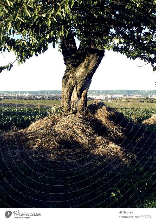 hay tree Tree Light Tree trunk Leaf Field Dresden Landscape Nature Americas