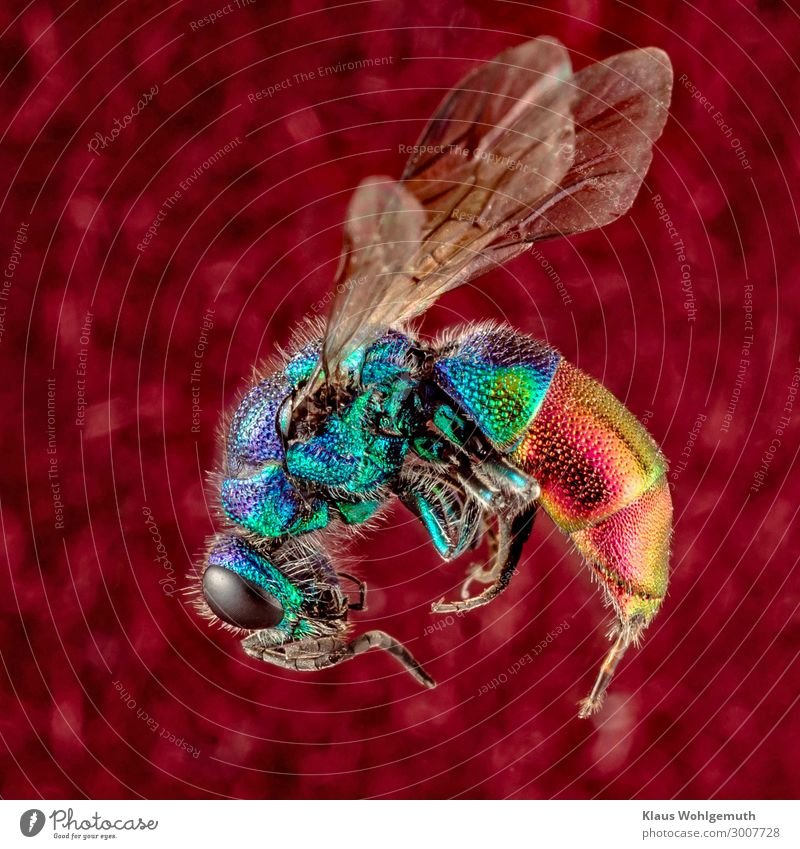 Colourful Environment Nature Animal Summer Dead animal Wing Wasps gold wasp Insect imago 1 Exotic Blue Multicoloured Yellow Gold Green Violet Orange Pink Red