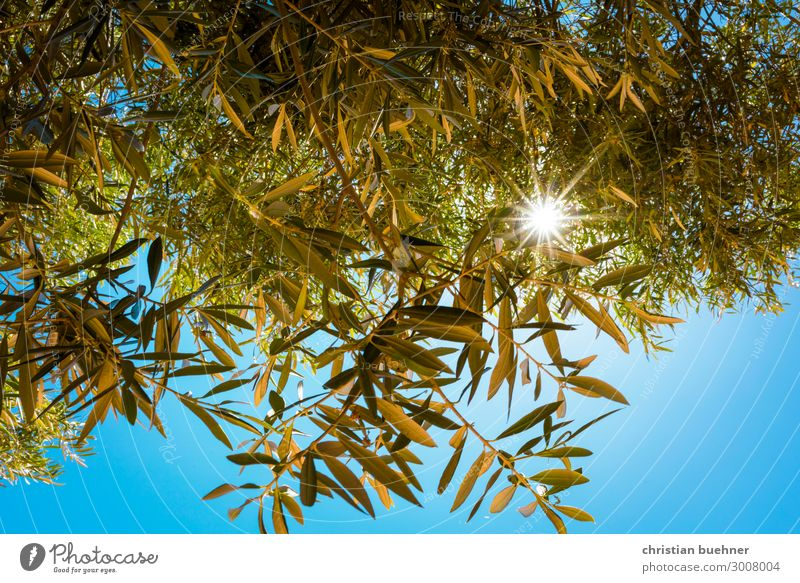 sunbeams shine through olive trees Olive tree Nature Sun twigs Bright spot Blue sky Hope beauty relaxed