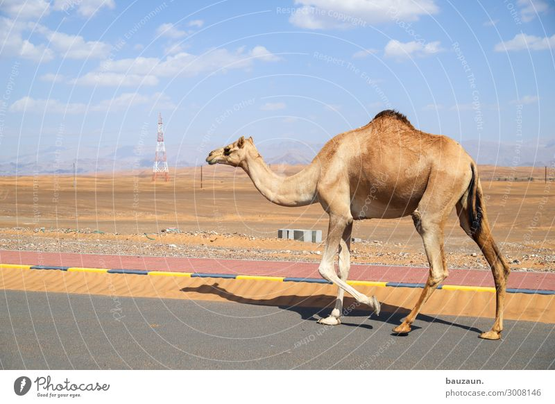 on to the new week. Environment Nature Sand Sky Summer Climate Beautiful weather Desert Oman Outskirts Transport Traffic infrastructure Street Animal Camel 1