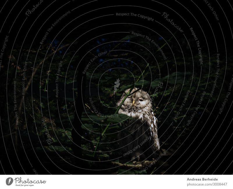 fogey Nature Forest Animal Mouse 1 Wait Curiosity Survive Strix Owl birds Forest animal Bird of prey night hunter Feather Fatigue Animal portrait Dark