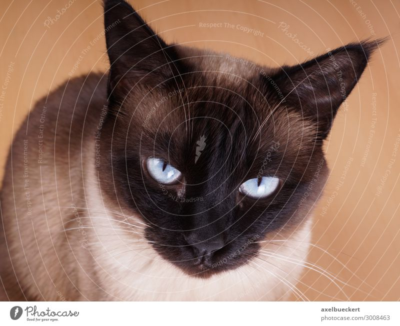 Seal Point Siamese or Thai cat Animal Pet Cat Animal face 1 Sit Domestic cat purebred cat cat breed Siamese cat Thailand seal point blue eyes Colour photo