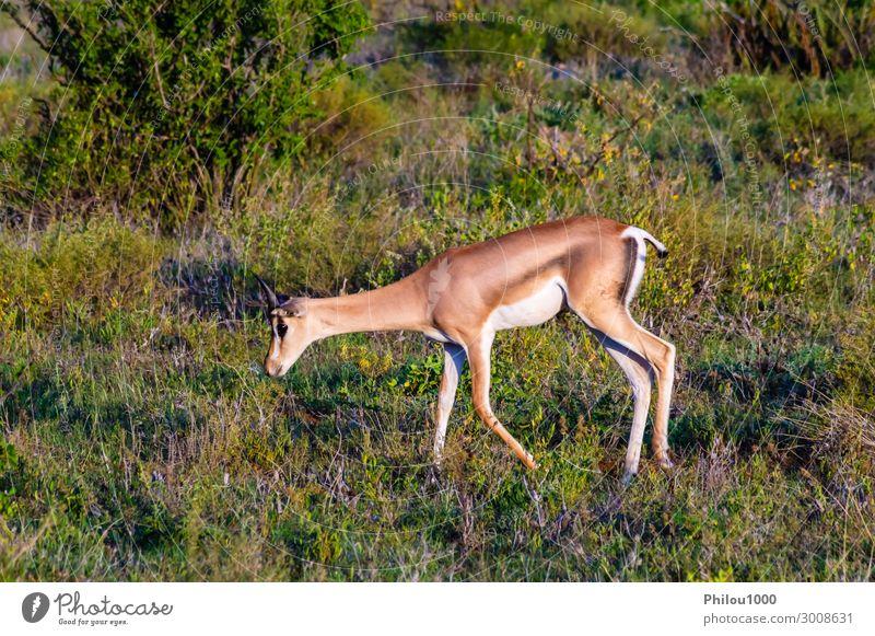 Lonely Springbok grazing Elegant Face Playing Safari Man Adults Nature Animal Grass Listening Fantastic Cute Wild Red Africa Kenya Samburu Delightful african