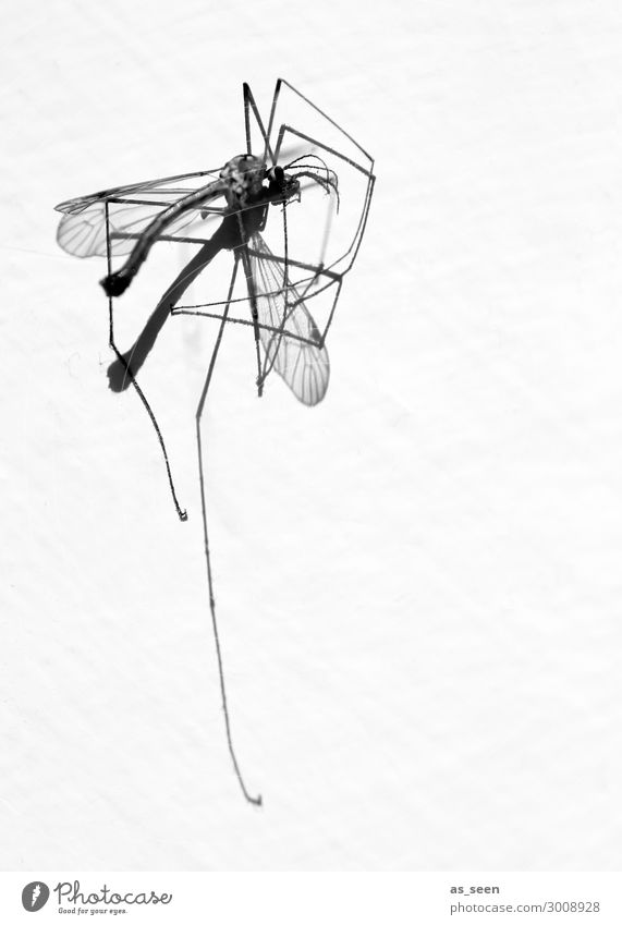 mosquito Environment Nature Animal Summer Dead animal Mosquitos Crane fly 1 Lie Esthetic Authentic Thin Disgust Point Black White Death Aggression Force