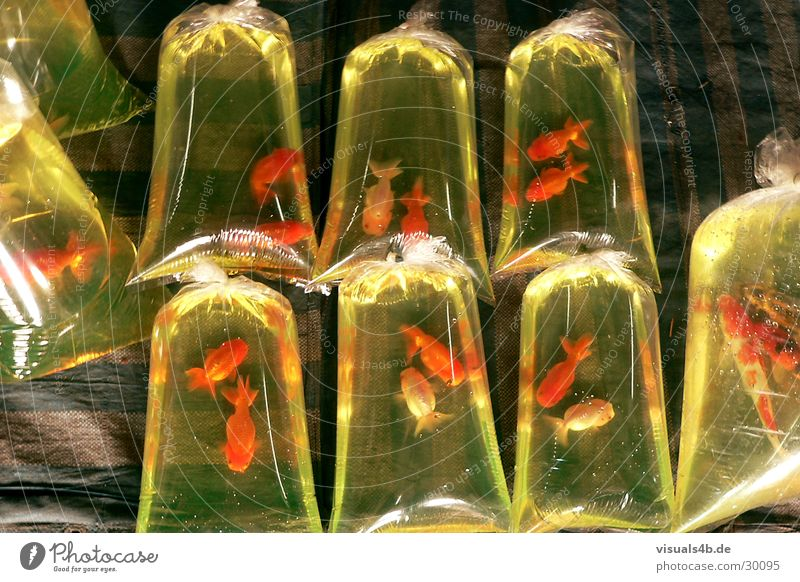 Goldfish a la Bangkok Plastic bag Green Red Asia Specialities Aquarium Ornamental fish 8 Farmer's market Thailand Nutrition Captured Exclude Connectedness